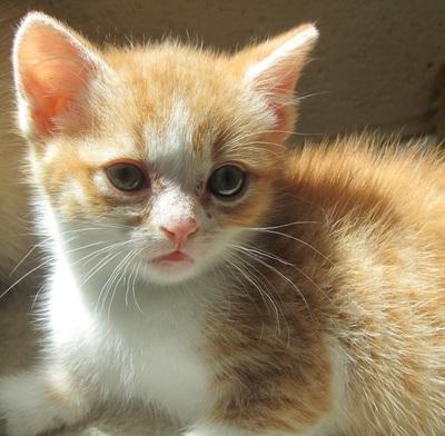 adoptions-kitten