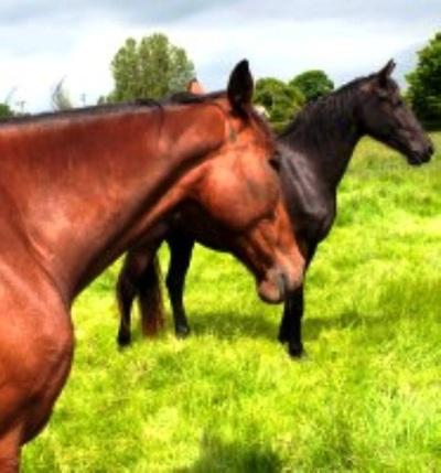 Horses, Ponies, Donkeys