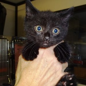 Nina's kittens – 1 REHOMED
